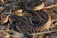 California Gopher Snake