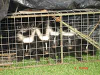 Animal Capture And Removal: Baby Skunks.