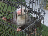 Animal Capture And Removal: Trapped Opposum.